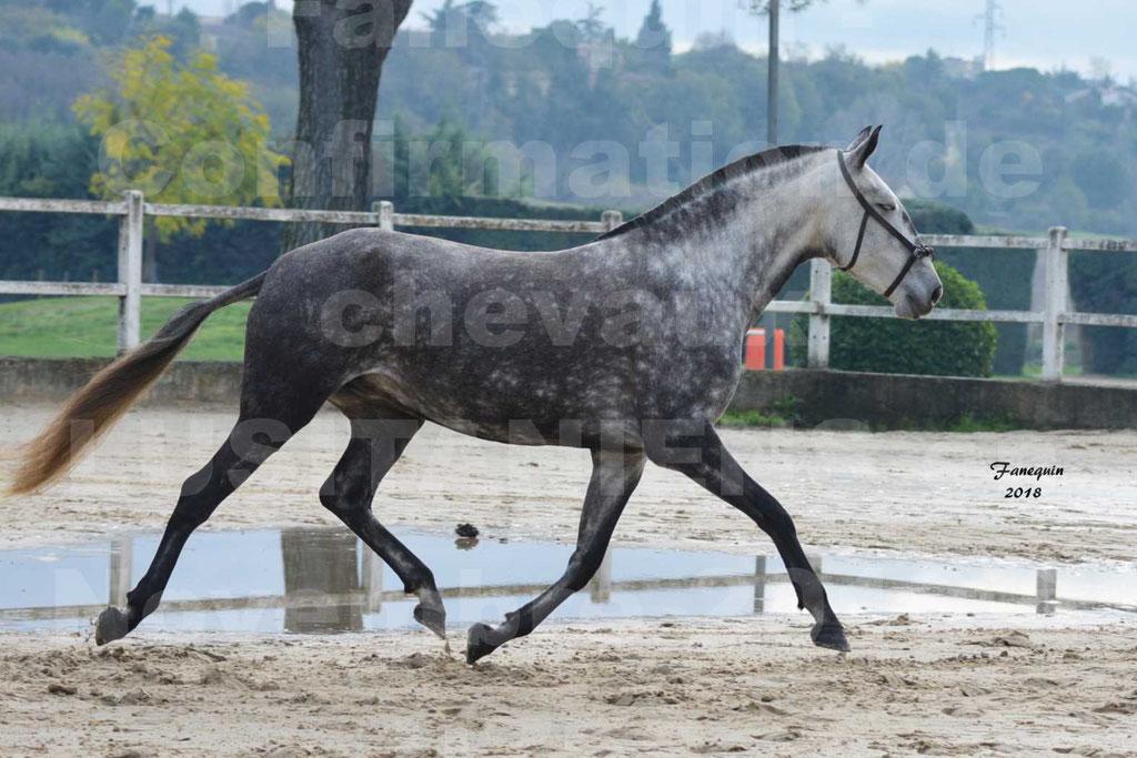 Confirmation de chevaux LUSITANIENS aux Haras d'UZES Novembre 2018 - JAVA DO REAL - 15
