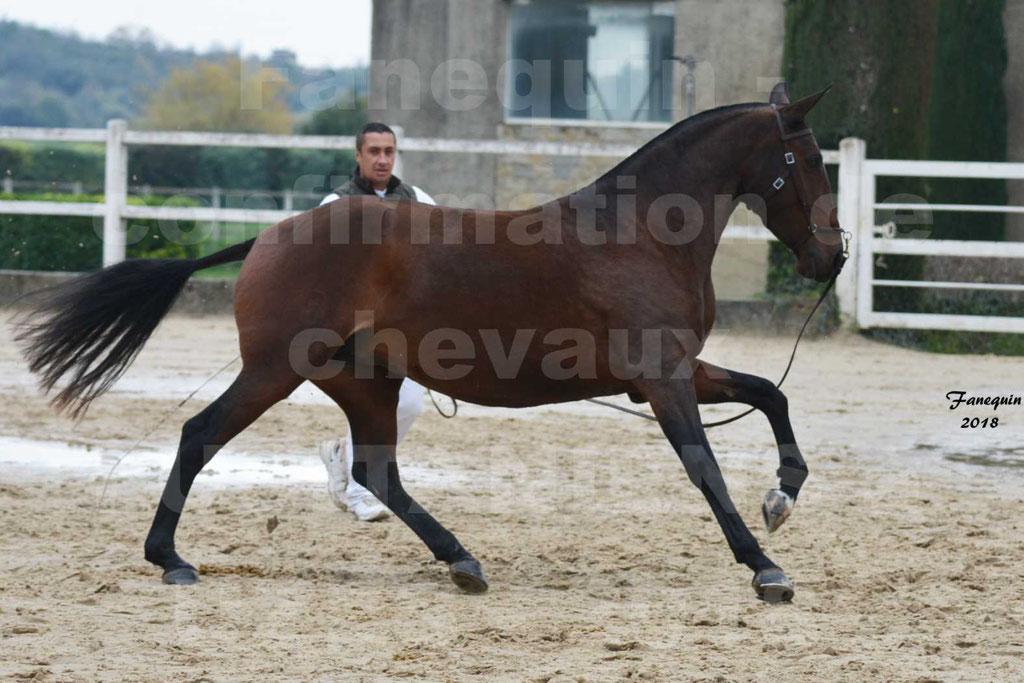 Confirmation de chevaux LUSITANIENS aux Haras d'UZES Novembre 2018 - LISBOA DU BOUSQUET - 2