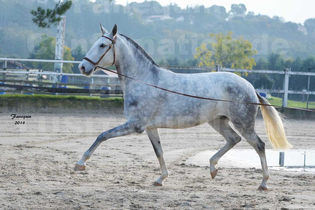 Confirmation de chevaux LUSITANIENS aux Haras d'UZES Novembre 2018 - LUTECE DU CASTEL - 22