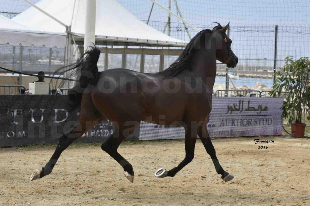 Championnat du pur-sang arabe de la Méditerranée et des pays arabes - MENTON 2016 - EKS ALIHANDRO - Notre Sélection - 17