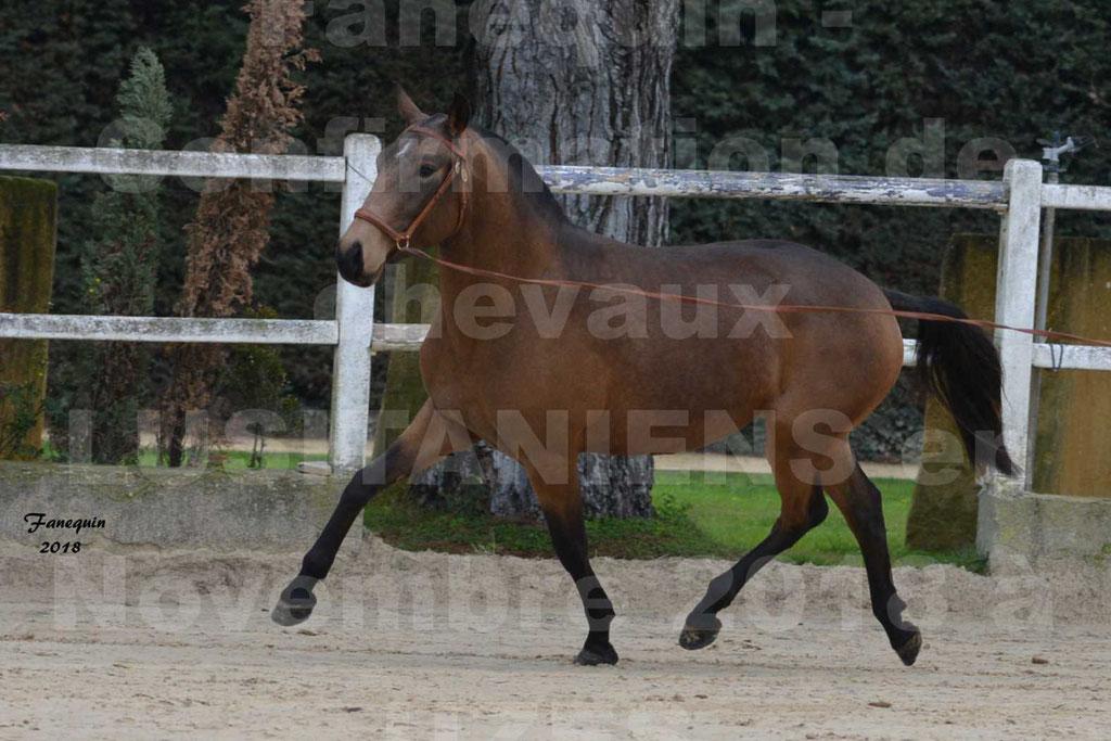 Confirmation de chevaux LUSITANIENS aux Haras d'UZES Novembre 2018 - LAMOUR DU CASTEL - 05