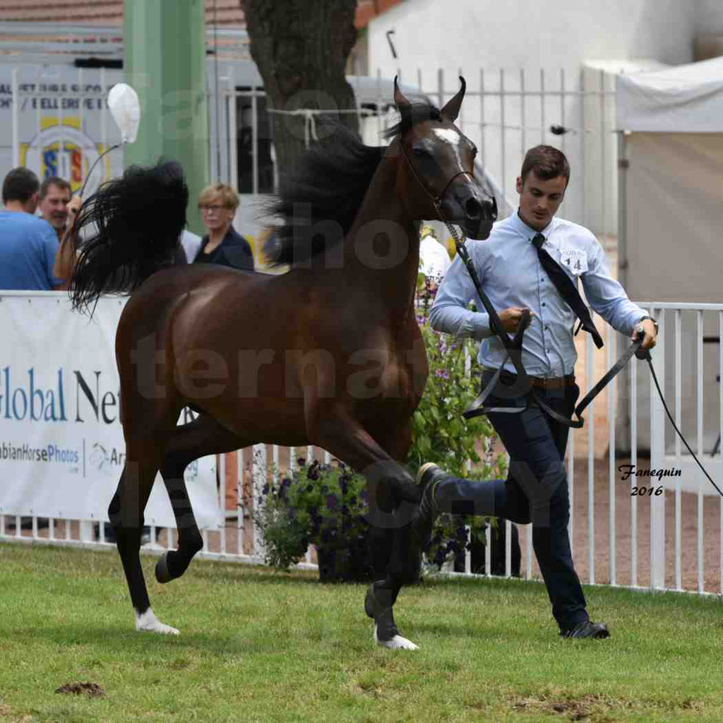 International Arabian Horse Show B de VICHY 2016 - ESMAELIA AL HEVAN - Notre Sélection - 01