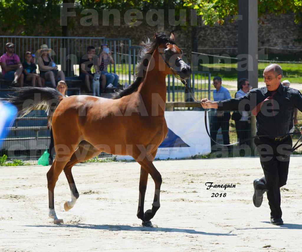 Championnat de FRANCE des chevaux Arabes à Pompadour en 2018 - SH CHARISMA - Notre Sélection - 07