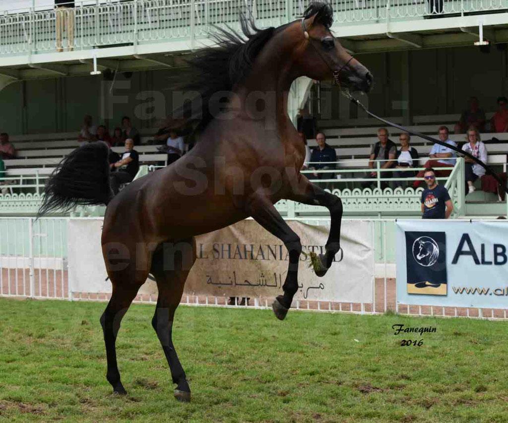 """International Arabian Horse Show B de VICHY 2016 - MILLIAR - Notre Sélection - """"Cabrages"""" - 1"""