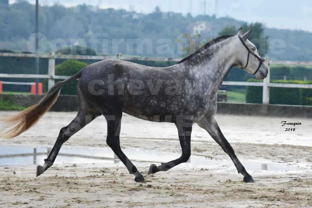 Confirmation de chevaux LUSITANIENS aux Haras d'UZES Novembre 2018 - JAVA DO REAL - 16