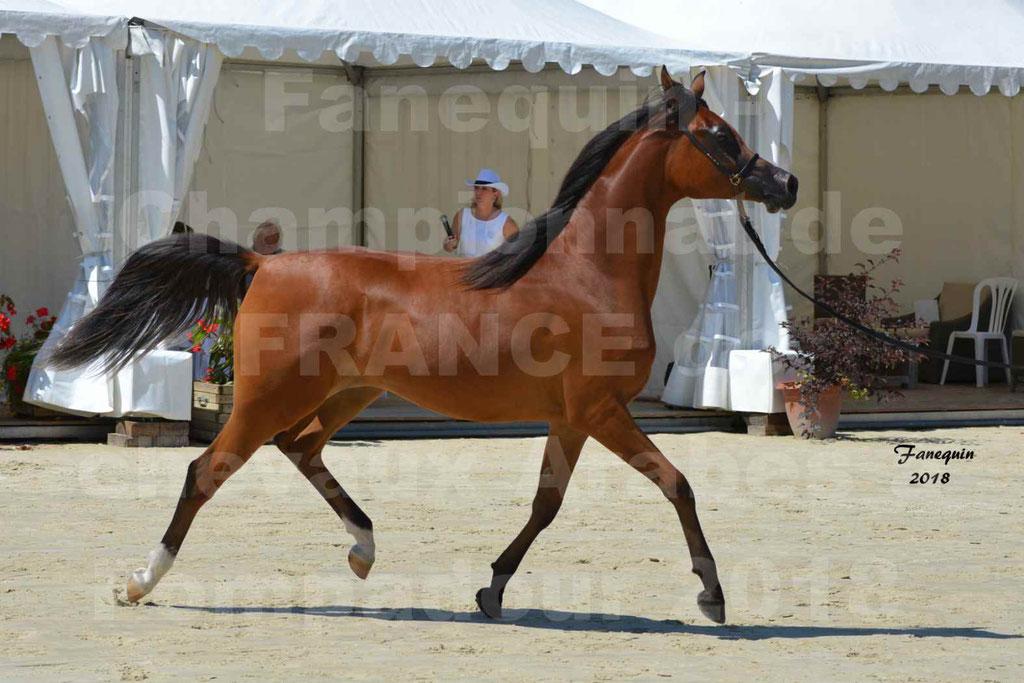 Championnat de FRANCE des chevaux Arabes à Pompadour en 2018 - SH CHARISMA - Notre Sélection - 17