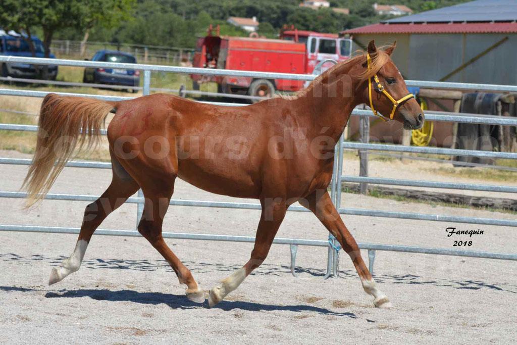 Concours d'Elevage de chevaux Arabes  le 27 juin 2018 à la BOISSIERE - FANGIO DES DOLINES - 09