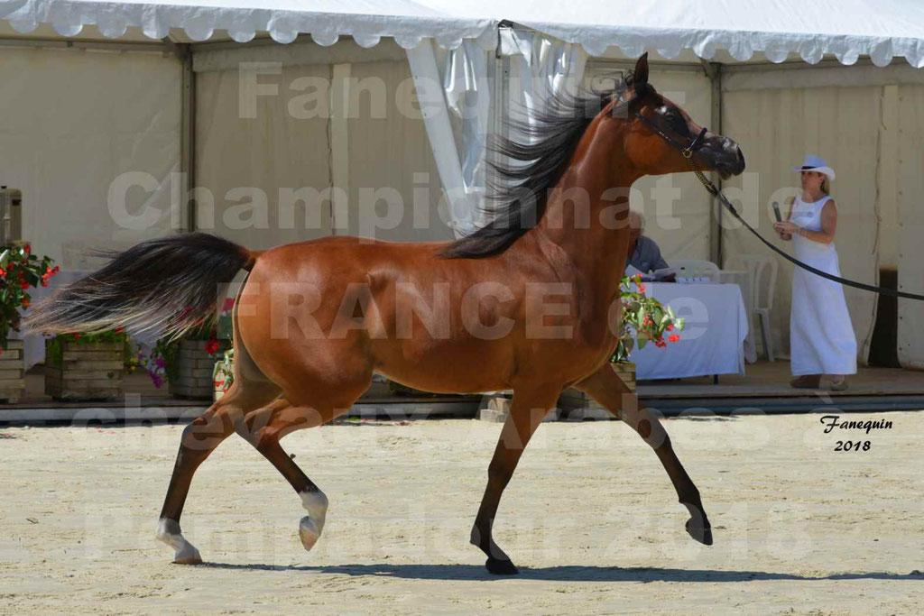 Championnat de FRANCE des chevaux Arabes à Pompadour en 2018 - SH CHARISMA - Notre Sélection - 16