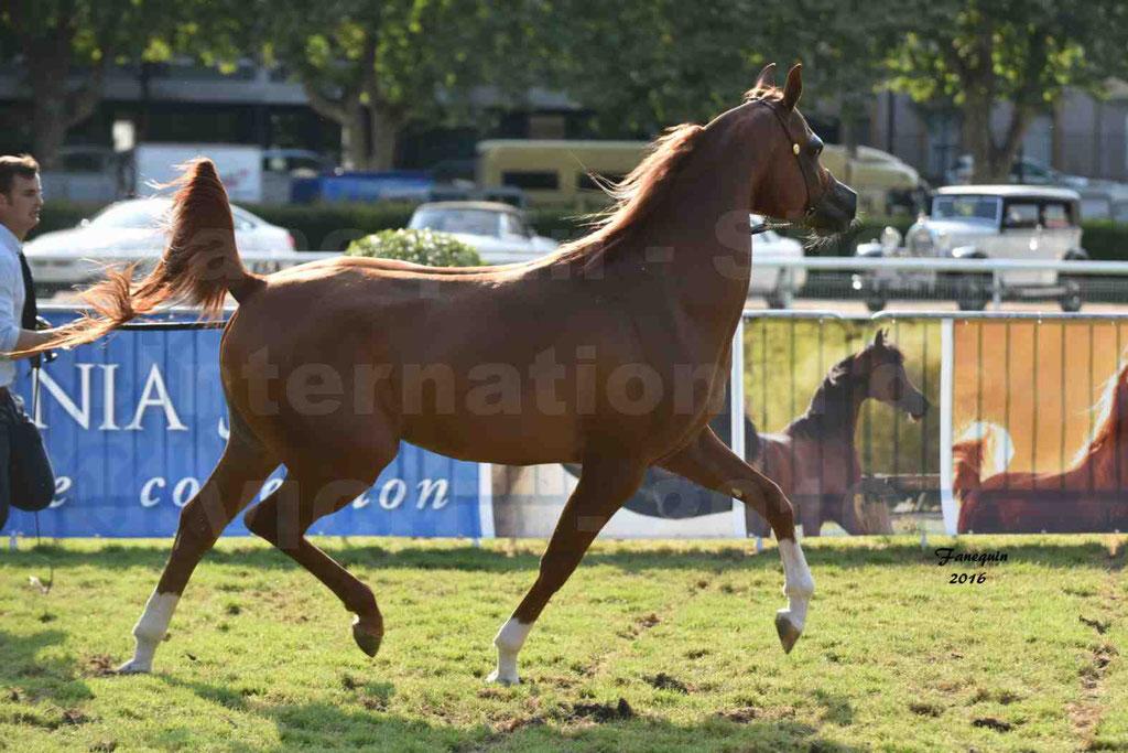 International Arabian Horse Show B de VICHY 2016 - DZHARI NUNKI - Notre Sélection - 38
