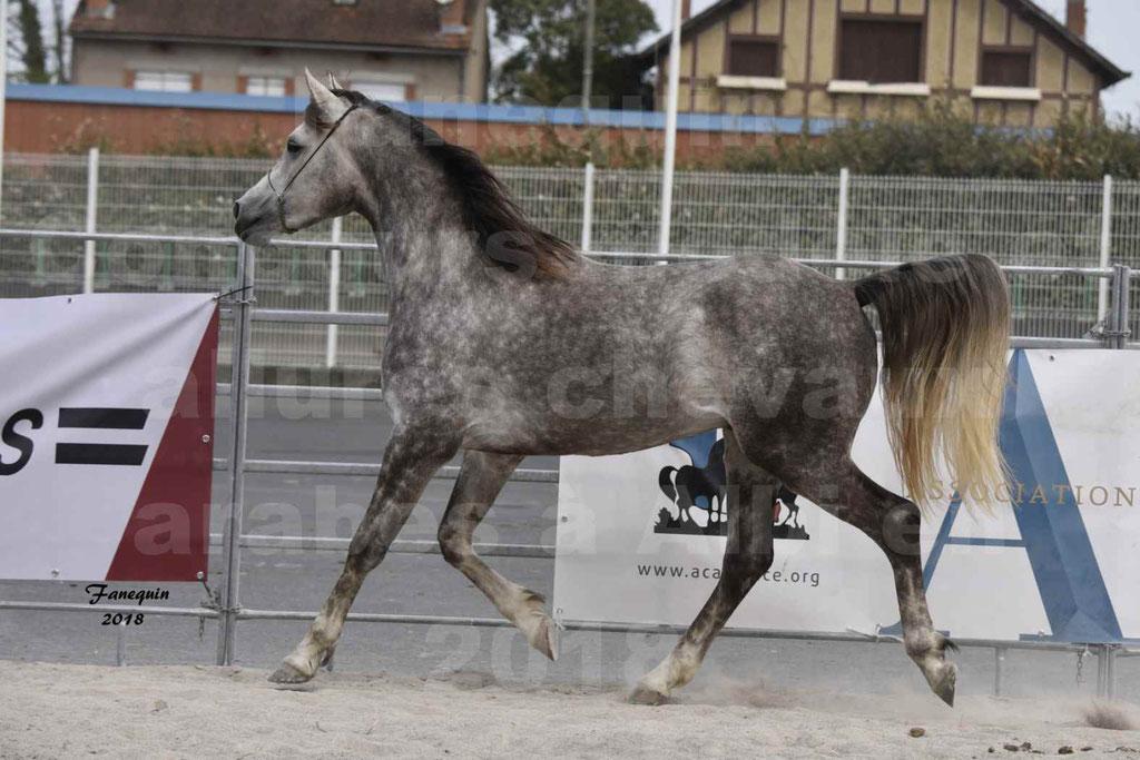 Concours d'élevage de Chevaux Arabes - Demi Sang Arabes - Anglo Arabes - ALBI les 6 & 7 Avril 2018 - PERCEVAL DE LAFON - Notre Sélection - 08