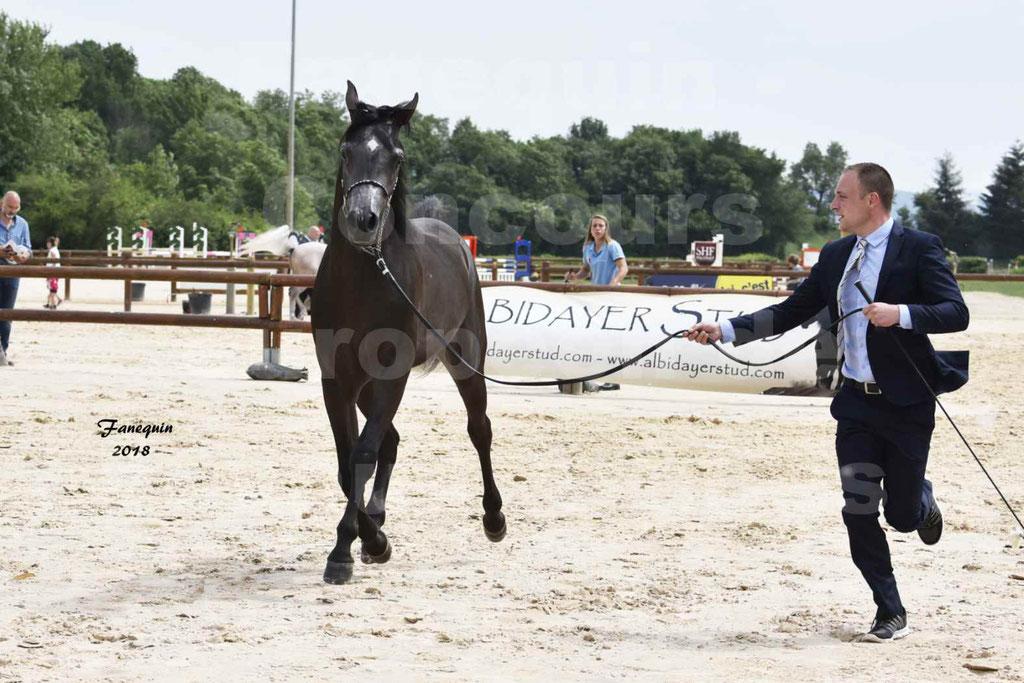 Concours Européen de chevaux Arabes à Chazey sur Ain 2018 - SDL MAGIC NIGHT STONE - Notre Sélection - 03
