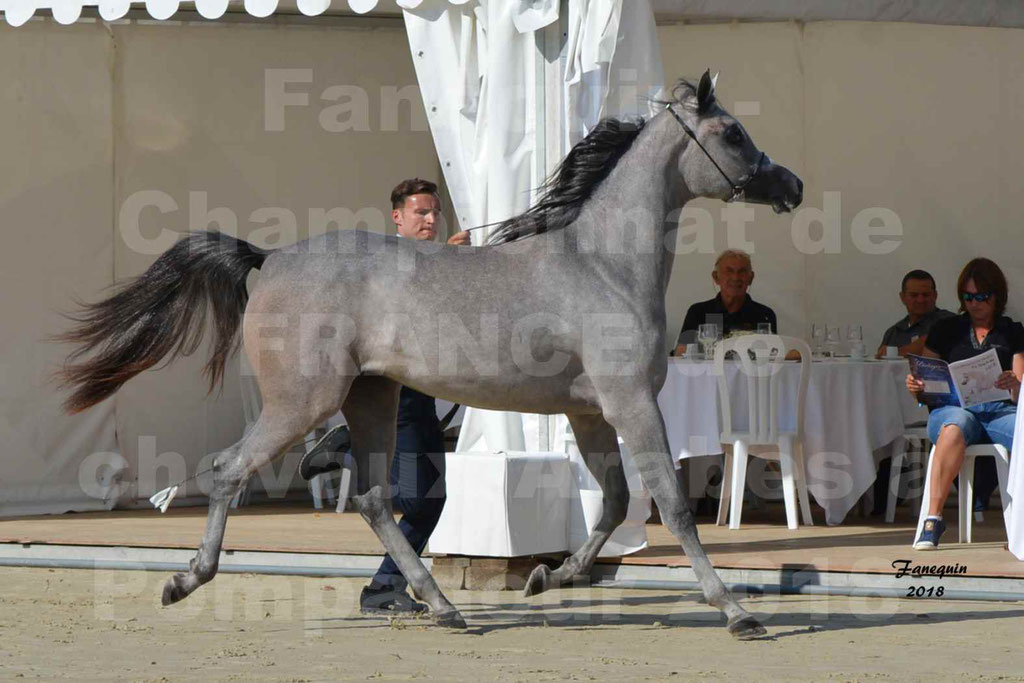 Championnat de FRANCE de chevaux Arabes à Pompadour en 2018 - SANIA DU CAYRON - Notre Sélection - 23