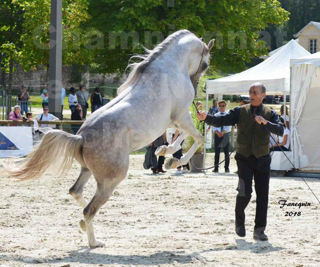 Championnat de FRANCE de chevaux Arabes à Pompadour en 2018 - SH CHAGALL - Notre Sélection - 01