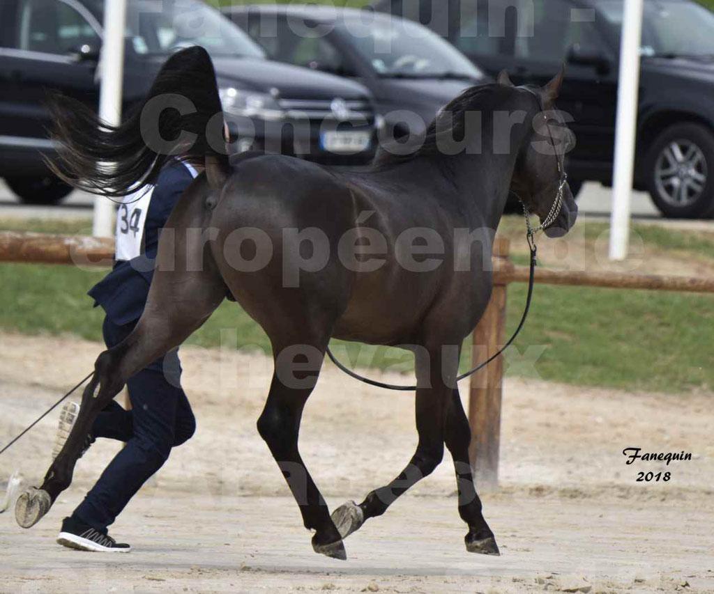 Concours Européen de chevaux Arabes à Chazey sur Ain 2018 - SDL MAGIC NIGHT STONE - Notre Sélection - 10