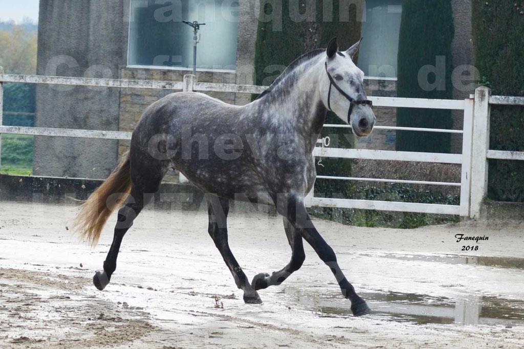 Confirmation de chevaux LUSITANIENS aux Haras d'UZES Novembre 2018 - JAVA DO REAL - 36
