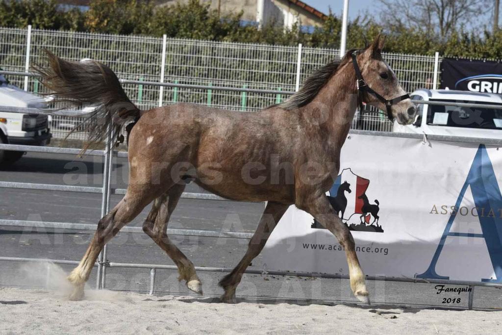 Concours d'élevage de Chevaux Arabes - Demi Sang Arabes - Anglo Arabes - ALBI les 6 & 7 Avril 2018 - GAZIM DU CARRELIE - Notre Sélection - 10