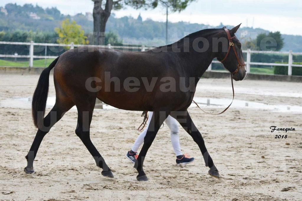 Confirmation de chevaux LUSITANIENS aux Haras d'UZES Novembre 2018 - LOUNA DU CASTEL - 01