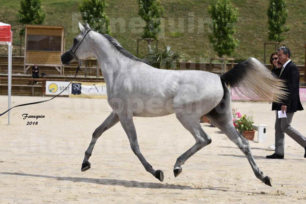 Concours Européen de chevaux Arabes à Chazey sur Ain 2018 - FATIN ALBIDAYER - Notre Sélection - 10