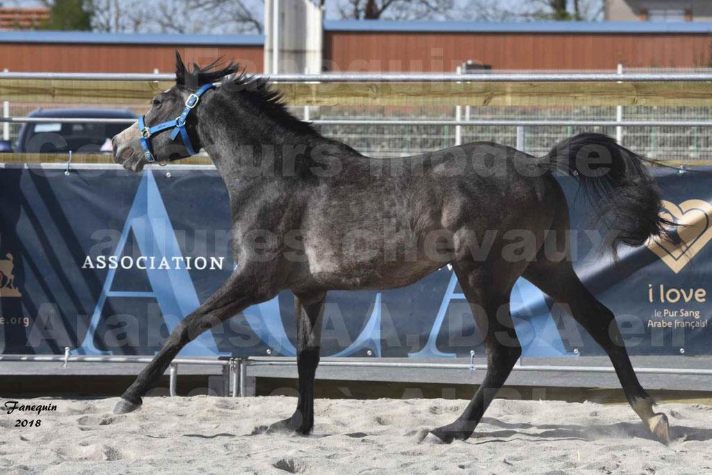 Concours d'élevage de Chevaux Arabes - Demi Sang Arabes - Anglo Arabes - ALBI les 6 & 7 Avril 2018 - BAZTAN - Notre Sélection - 2