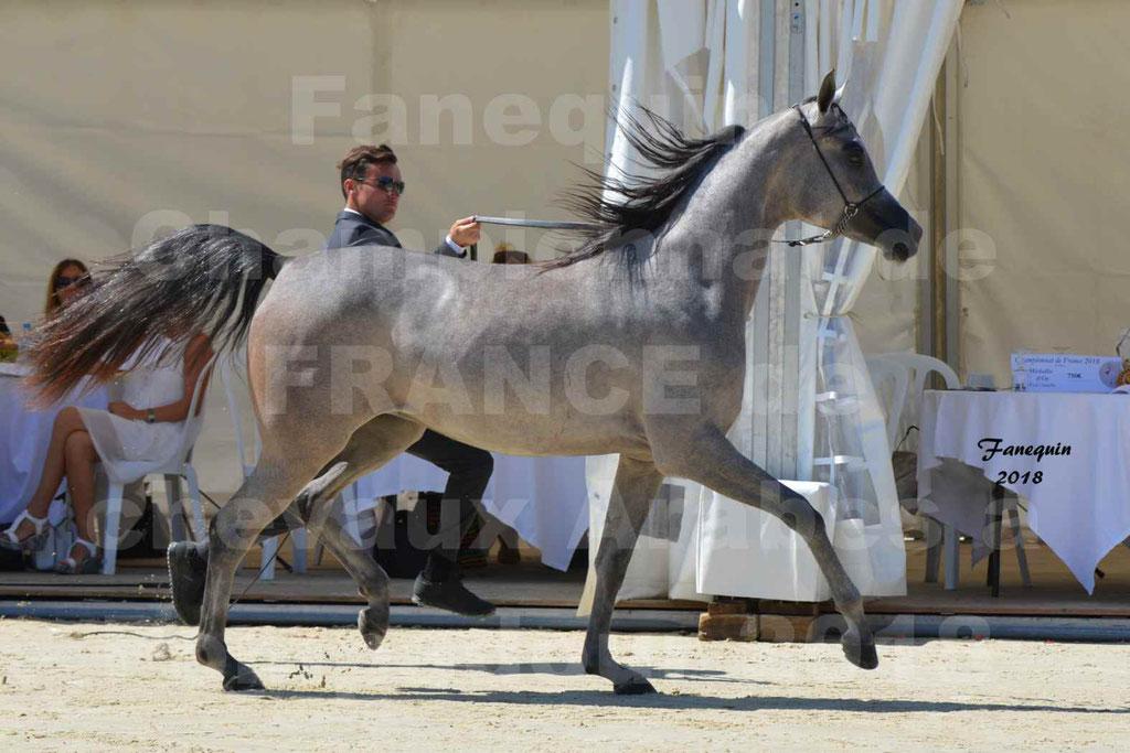 Championnat de FRANCE de chevaux Arabes à Pompadour en 2018 - SANIA DU CAYRON - Notre Sélection - 07
