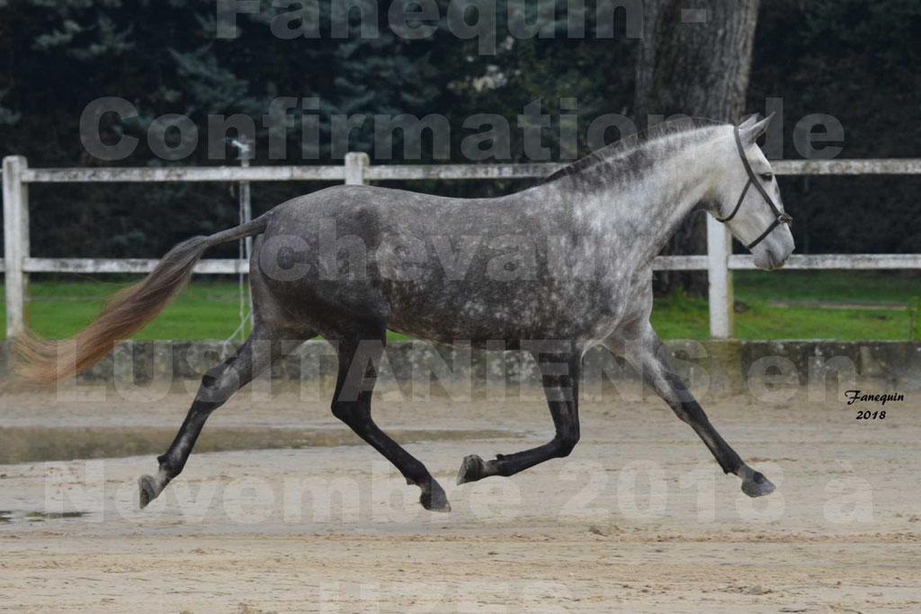 Confirmation de chevaux LUSITANIENS aux Haras d'UZES Novembre 2018 - JAVA DO REAL - 09