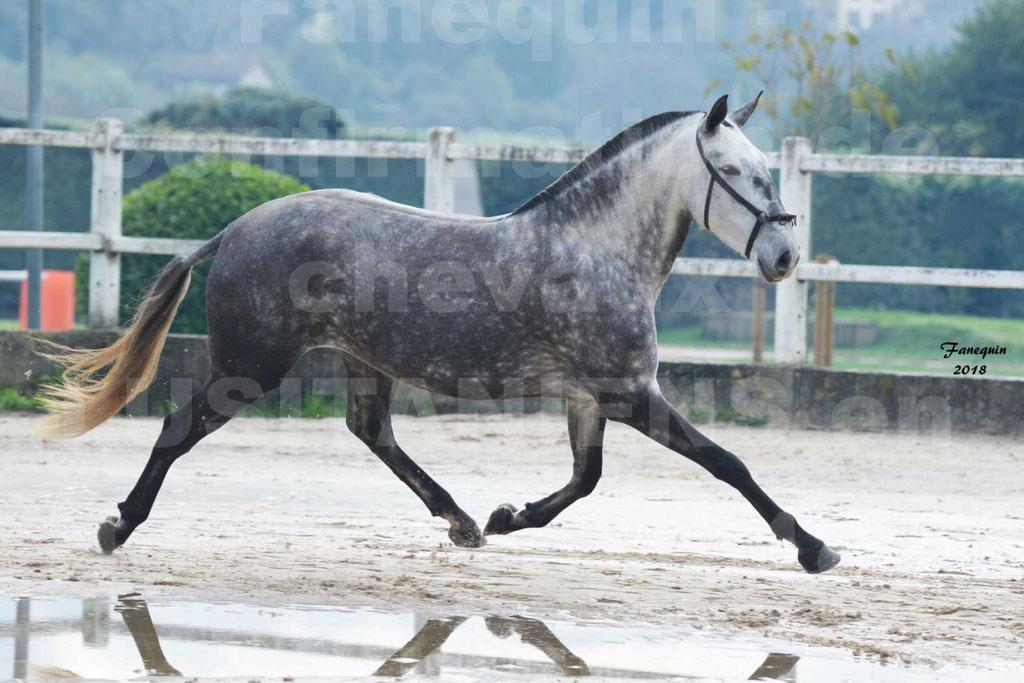 Confirmation de chevaux LUSITANIENS aux Haras d'UZES Novembre 2018 - JAVA DO REAL - 33