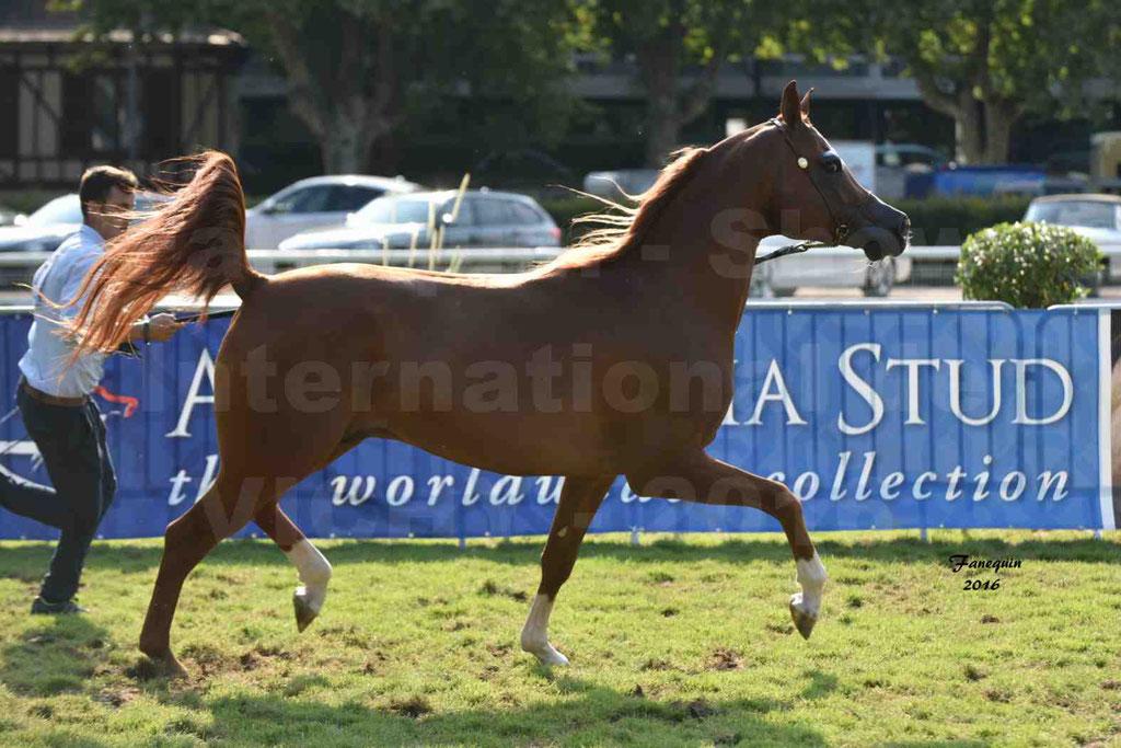 International Arabian Horse Show B de VICHY 2016 - DZHARI NUNKI - Notre Sélection - 37