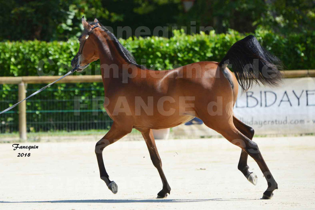 Championnat de FRANCE de chevaux Arabes à Pompadour en 2018 - BO AS ALEXANDRA - Notre Sélection - 09