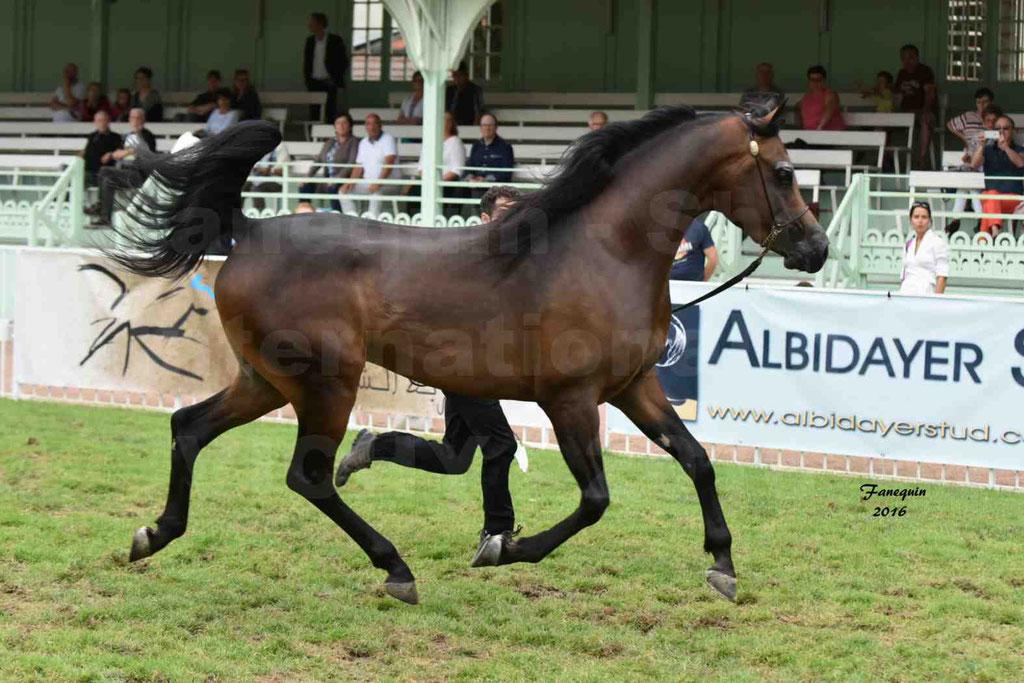 International Arabian Horse Show B de VICHY 2016 - MILLIAR - Notre Sélection - 03