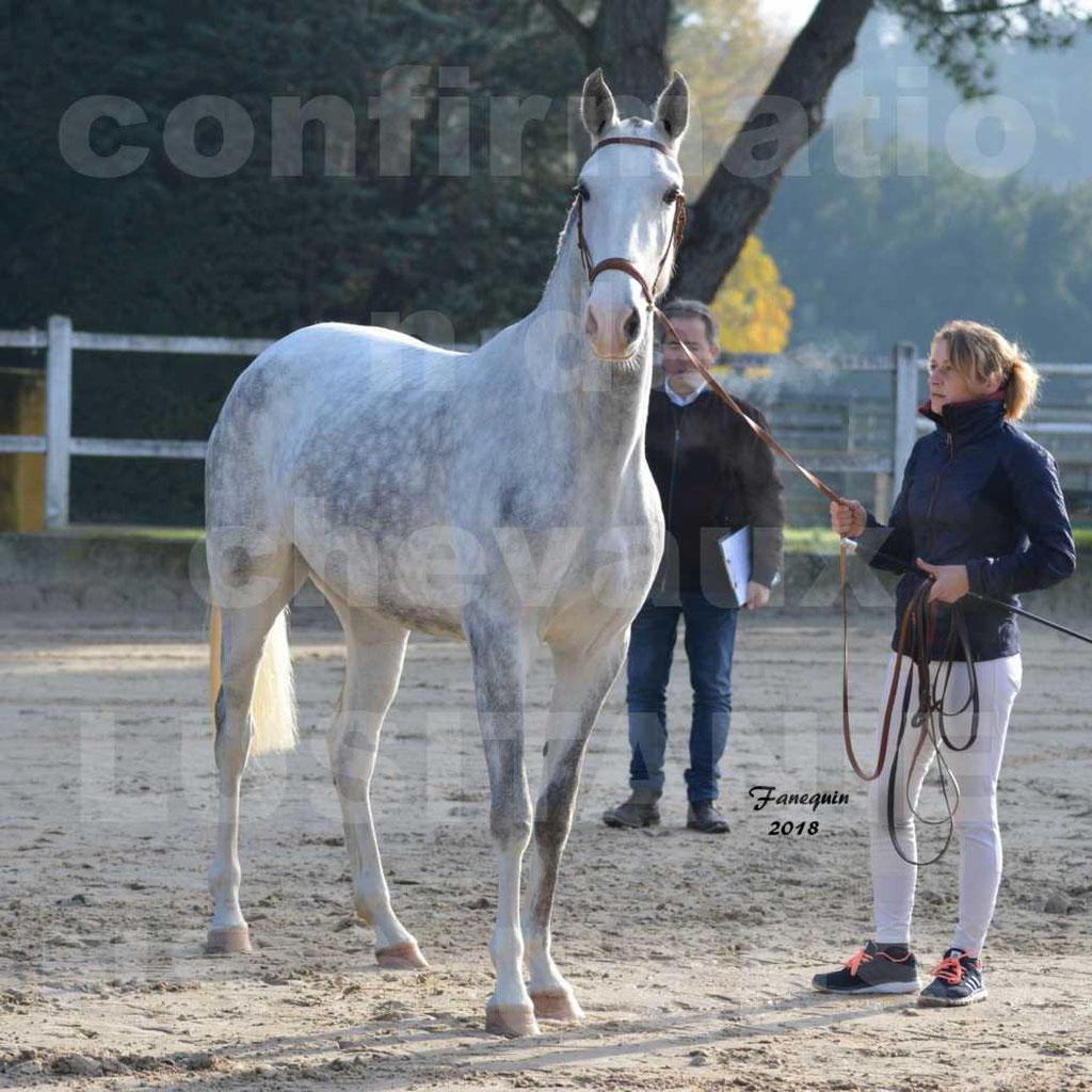 Confirmation de chevaux LUSITANIENS aux Haras d'UZES Novembre 2018 - LUTECE DU CASTEL - 01