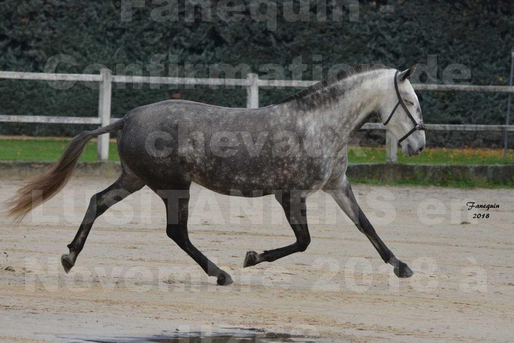 Confirmation de chevaux LUSITANIENS aux Haras d'UZES Novembre 2018 - JAVA DO REAL - 04