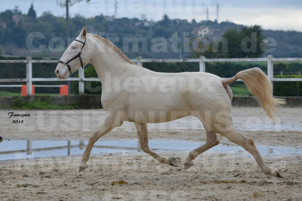 Confirmation de chevaux LUSITANIENS aux Haras d'UZES Novembre 2018 - LOLIBLOU - 13
