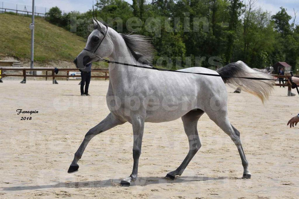 Concours Européen de chevaux Arabes à Chazey sur Ain 2018 - FATIN ALBIDAYER - Notre Sélection - 05