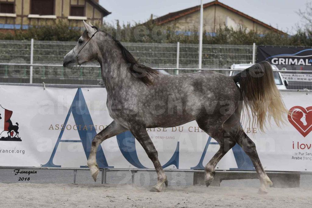 Concours d'élevage de Chevaux Arabes - Demi Sang Arabes - Anglo Arabes - ALBI les 6 & 7 Avril 2018 - PERCEVAL DE LAFON - Notre Sélection - 07