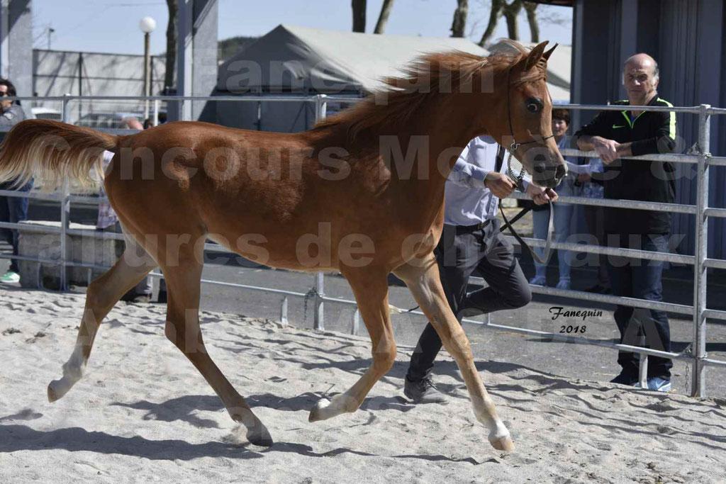 Concours d'élevage de Chevaux Arabes - Demi Sang Arabes - Anglo Arabes - ALBI les 6 & 7 Avril 2018 - MARCUS DE LAFON - Notre Sélection - 1