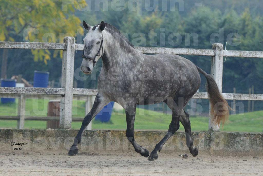 Confirmation de chevaux LUSITANIENS aux Haras d'UZES Novembre 2018 - JAVA DO REAL - 21