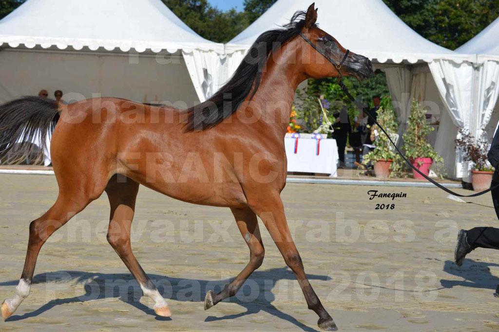 Championnat de FRANCE des chevaux Arabes à Pompadour en 2018 - SH CHARISMA - Notre Sélection - 05