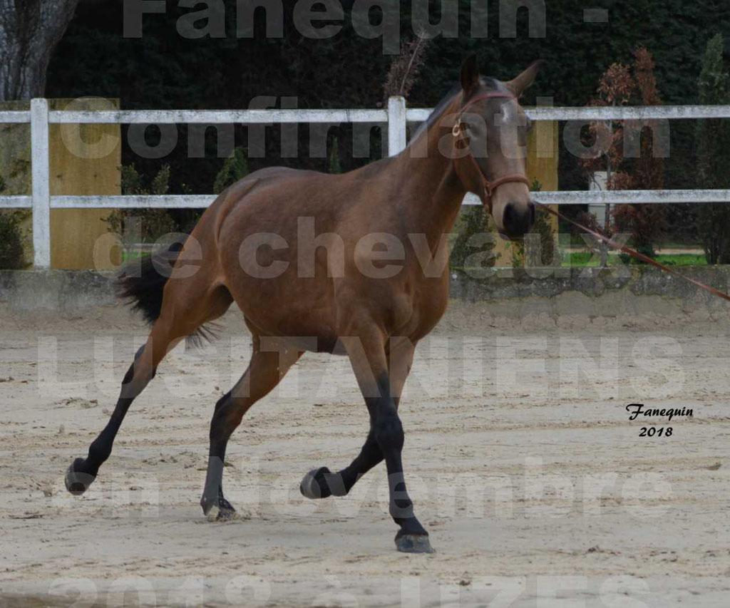 Confirmation de chevaux LUSITANIENS aux Haras d'UZES Novembre 2018 - LAMOUR DU CASTEL - 08