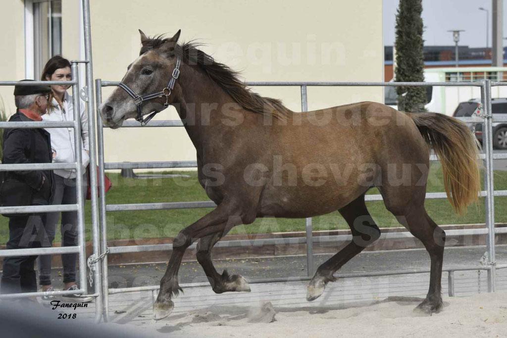 Concours d'élevage de Chevaux Arabes - Demi Sang Arabes - Anglo Arabes - ALBI les 6 & 7 Avril 2018 - FARAH DU CARRELIE - Notre Sélection - 10