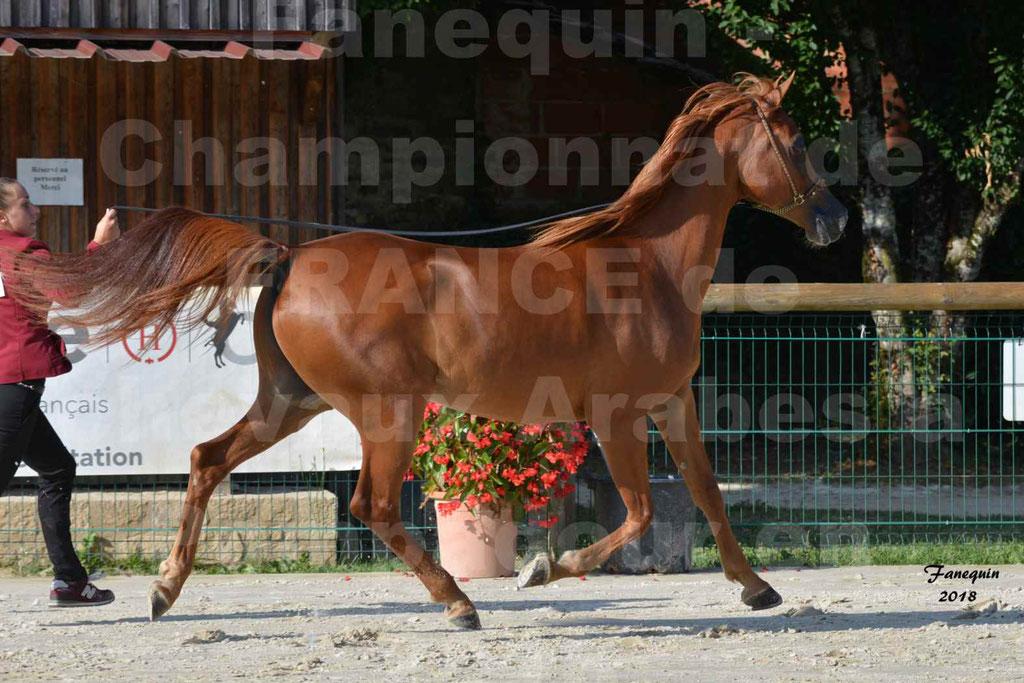 Championnat de FRANCE de chevaux Arabes à Pompadour 2018 - MAAMAR ISHANE - Notre Sélection - 11