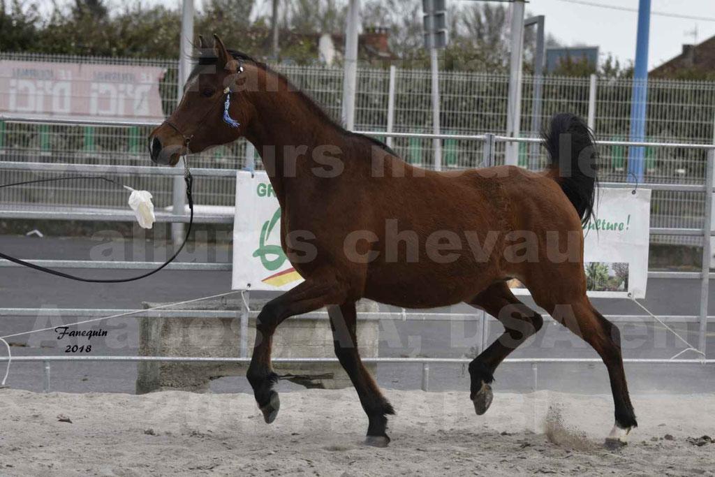Concours d'élevage de Chevaux Arabes - Demi Sang Arabes - Anglo Arabes - ALBI les 6 & 7 Avril 2018 - ELEGANTE PICAREL - Notre Sélection - 2