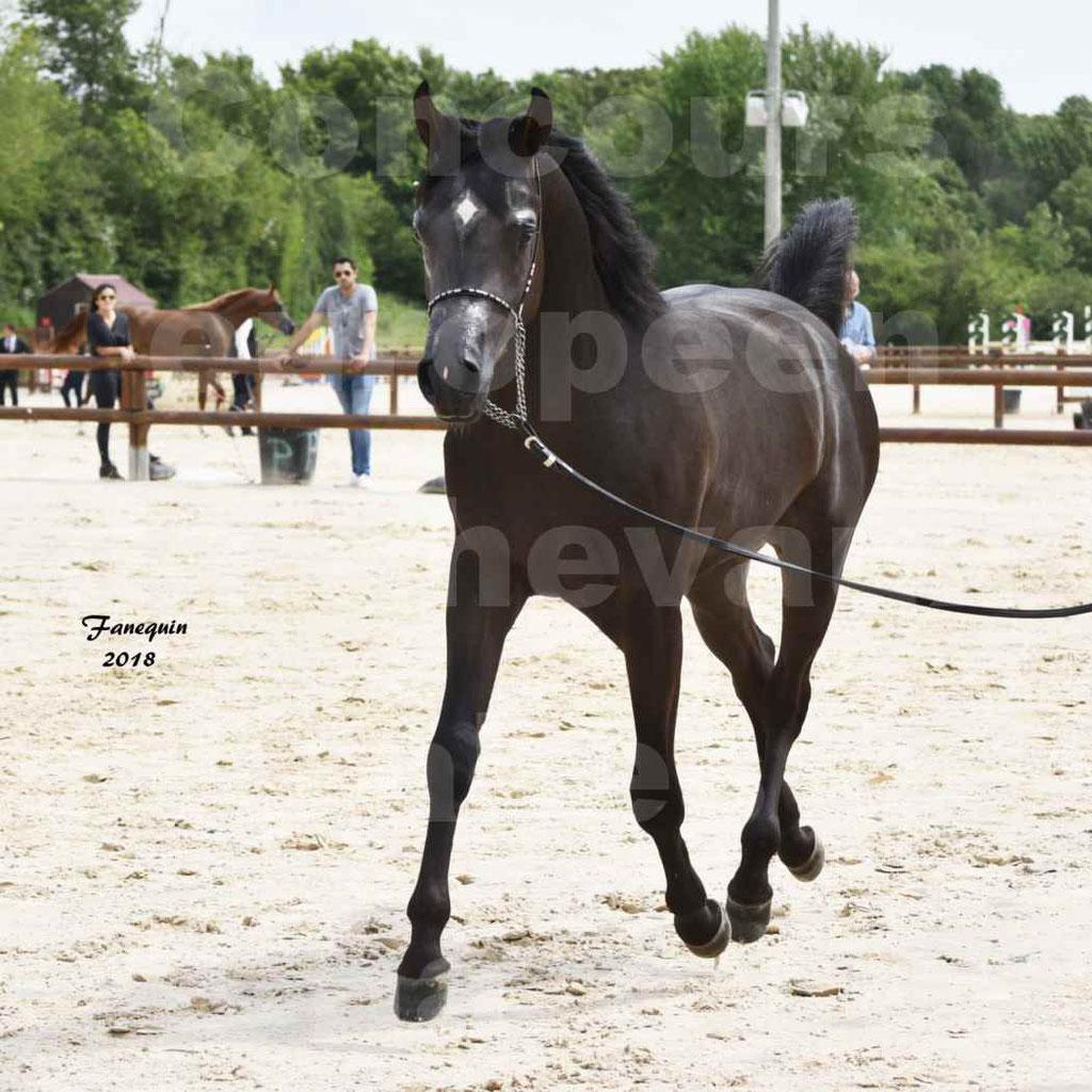 Concours Européen de chevaux Arabes à Chazey sur Ain 2018 - SDL MAGIC NIGHT STONE - Notre Sélection - 06