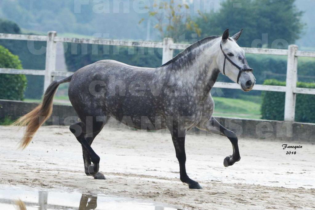 Confirmation de chevaux LUSITANIENS aux Haras d'UZES Novembre 2018 - JAVA DO REAL - 34