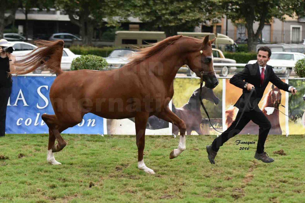 International Arabian Horse Show B de VICHY 2016 - DZHARI NUNKI - Notre Sélection - 12