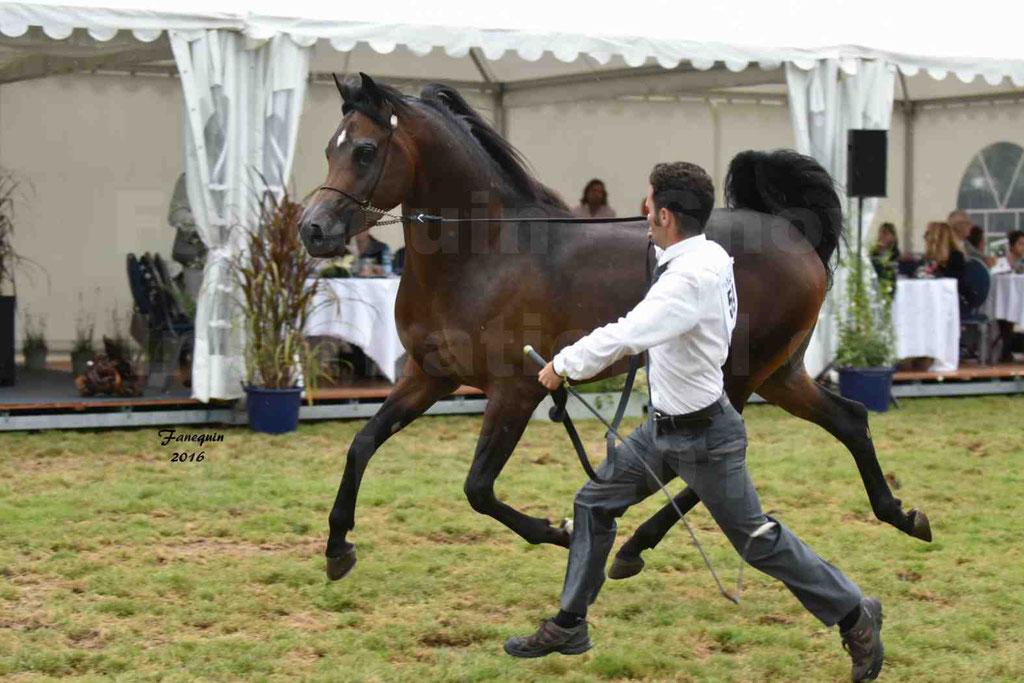 International Arabian Horse Show B de VICHY 2016 - MILLIAR - Notre Sélection - 30
