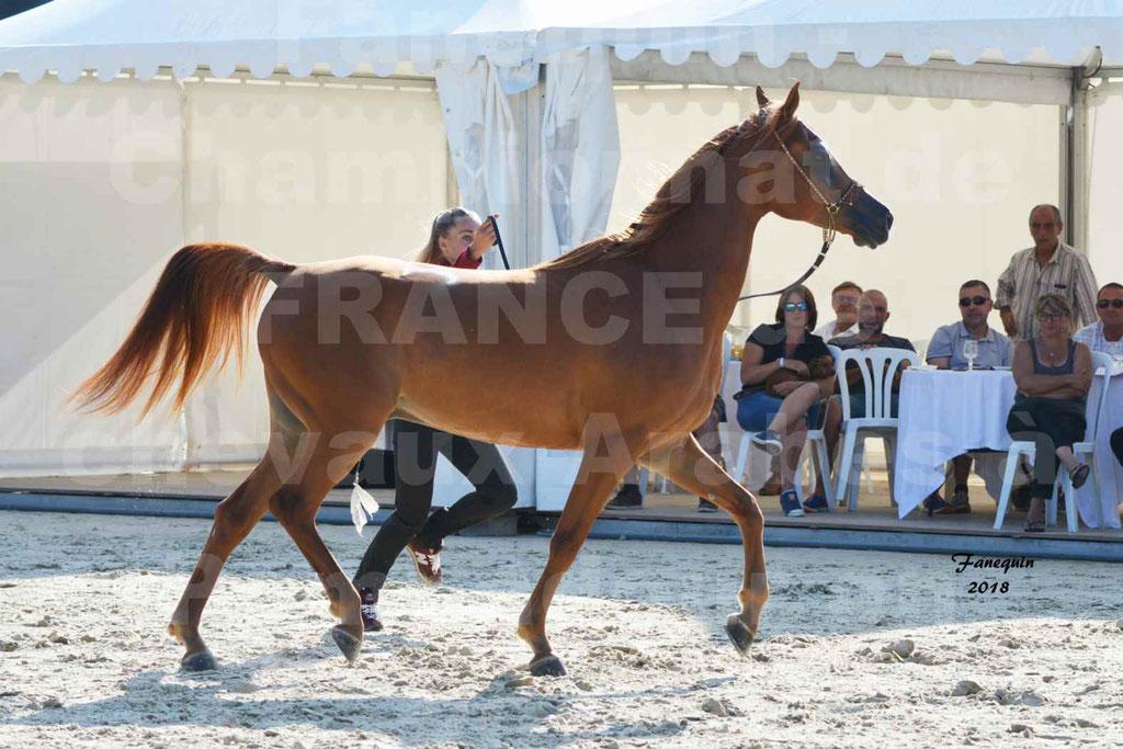 Championnat de FRANCE de chevaux Arabes à Pompadour 2018 - MAAMAR ISHANE - Notre Sélection - 18