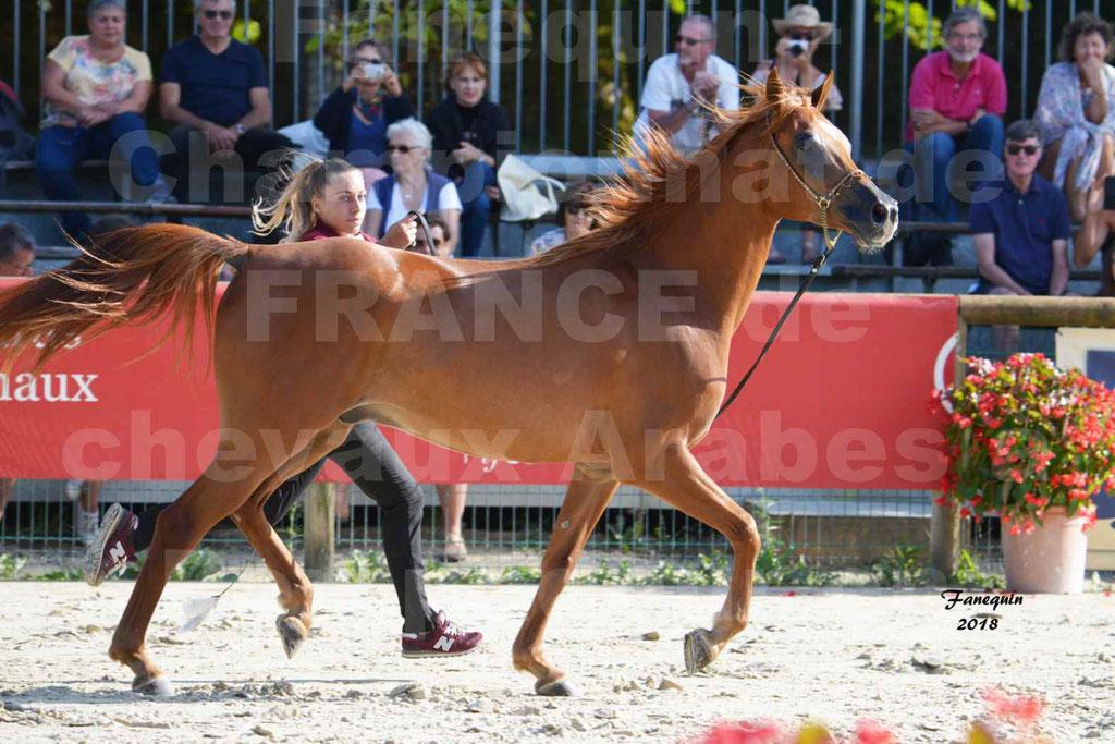 Championnat de FRANCE de chevaux Arabes à Pompadour 2018 - MAAMAR ISHANE - Notre Sélection - 17