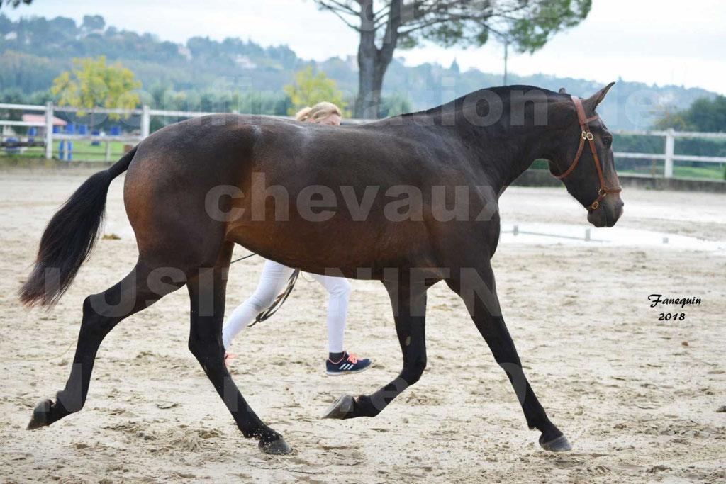 Confirmation de chevaux LUSITANIENS aux Haras d'UZES Novembre 2018 - LOUNA DU CASTEL - 13