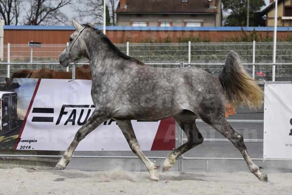 Concours d'élevage de Chevaux Arabes - Demi Sang Arabes - Anglo Arabes - ALBI les 6 & 7 Avril 2018 - PERCEVAL DE LAFON - Notre Sélection - 19