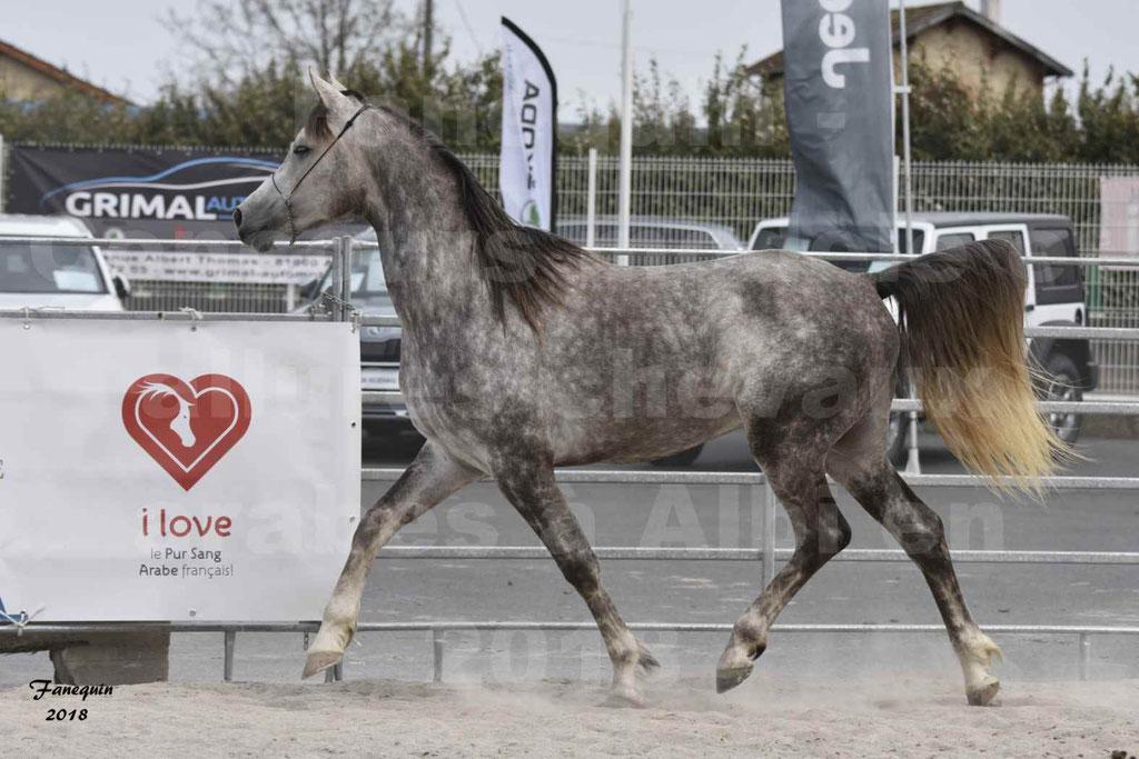 Concours d'élevage de Chevaux Arabes - Demi Sang Arabes - Anglo Arabes - ALBI les 6 & 7 Avril 2018 - PERCEVAL DE LAFON - Notre Sélection - 05